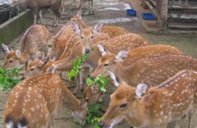 Làm giàu từ mô hình nuôi hươu sao ở Hương Sơn